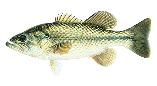 fish_bass_largemouth